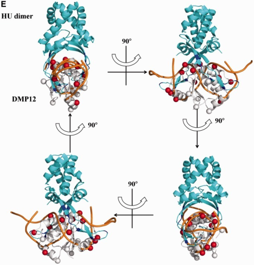 The crystal structure of DMP12 presents a DNA-like surface. (A) The secondary structural elements are shown above the amino acid sequence, with blue cylinders representing α-helices and green arrows representing β-sheets. (B) A ribbon diagram of two DMP12 monomers in an asymmetric unit. The α-helices and β-sheets were colored red and yellow, respectively, in one DMP12 monomer, and cyan and purple in the other, respectively. Two magnesium ions (orange) were found on the protein surface. (C) Comparison of the surface charge distribution of DMP12 and HU-bound dsDNA. DMP12 electrostatic potential surface is colored by Pymol, with red to blue representing the electrostatic potential from −77 to +77 kBT. The DNA surface is colored according to atomic charge by the same program. The distances between the β-carbons of neighboring acidic residues on DMP12 and the phosphate groups on HU-bound dsDNA were measured, and similar distances between the negative spots on DMP12 and HU-bound dsDNA were found. The pseudo 2-fold symmetries of the Hu-interacting surface of the HU/DNA complex and our proposed HU-DMP12-binding model are indicated by a green rhombus. (D) DMP12's β-carbons were used to indicate the location of the negatively charged side chains of ASP and GLU on the DMP12 monomer. β-Carbons that were matched in the DNA of the HU-bound dsDNA are labeled as red spheres; non-matched carbons are white. This diagram is shown in stereo. (E) Proposed HU-DMP12–binding model. This model was produced by the alignment of the negatively charged spots and shapes of the DMP12 monomer and the phosphate backbone of HU-bound dsDNA in Figure 2C and D. In this model, the HU-bound dsDNA in the HU/DNA complex (PDB code: 1P78) is overlaid by DMP12.