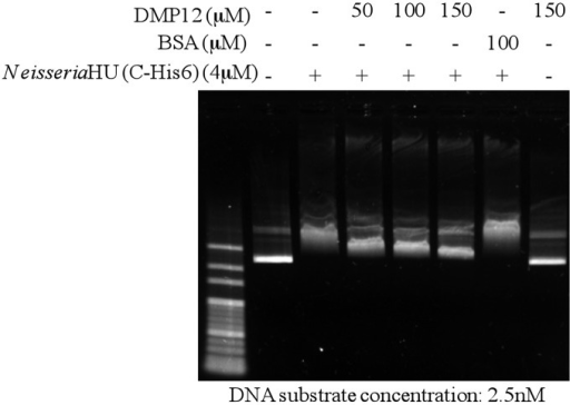 DMP12 partially prevents the DNA binding of Neisseria HU protein. A preliminary EMSA showed that the addition of 4 µM Neisseria HU protein produced a marked band shift of the 2.5 nM plasmid DNA substrate (Supplementary Figure S5), and this concentration was, therefore, used in this competitive EMSA assay. The results show that the DNA mimic DMP12 partially reduces the DNA shift of Neisseria HU in a dosage-dependent manner.