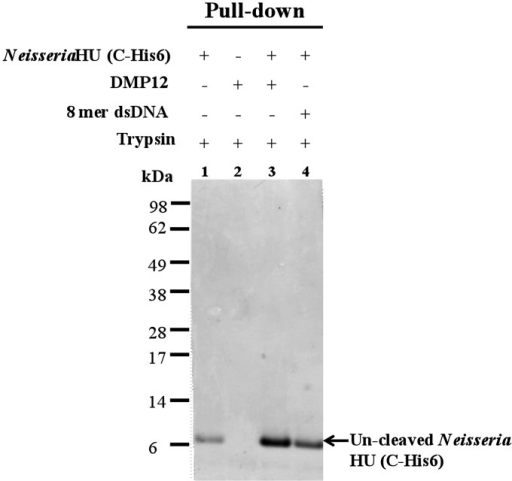 Neisseria HU protein is protected from trypsin digestion in the presence of DMP12 or DNA. Because C-terminal–tagged Neisseria HU protein and DMP12 both have similar molecular weight, His–pull-down was used to purify the uncleaved C-terminal–tagged Neisseria HU protein. The uncleaved C-terminal–tagged Neisseria HU proteins were analyzed using a 12% Bis-Tris SDS–PAGE.