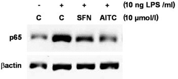 Effect of allyl-isothiocyanate (AITC) and sulforaphane (SFN) on NF-κB nuclear translocation. Protein levels of p65, a subunit of the transcription factor NF-κB, were measured by Western blotting in nucleic extracts from RAW264.7 macrophages incubated with the test compounds (10 μmol/l) and stimulated with LPS (10 ng/ml) for six hrs. One representative Western blot is shown.