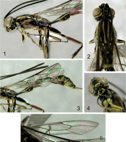 Photographs of Grotea villosissima sp. n. 1 Head, mesosoma and first tergite, lateral view 2 Head, mesosoma, dorsal view 3 Part of mesosoma and metasoma, lateral view 4 Head and part of mesosoma, ventral view 5 Hind wing.