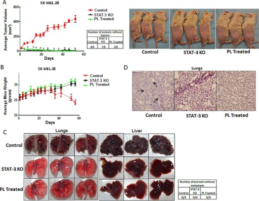 STAT3 deficient cells failed to form tumor in vivo(A) Tumor volumes and images of the mice bearing xenografts of wild type (Control), STAT3 knockout (STAT3 KO) and PL treated (5μM) SK-MEL 28 cells cultured under anchorage independent conditions for 48 hours. Values are plotted as mean ± S.E.M. *, p < 0.05 compared with control group. Cell viability of each group was evaluated using trypan blue assay and 5 × 106 live cells were injected. Once palpable tumors were observed, tumor dimensions were measured using vernier calipers. Values are plotted as mean ± S.E.M. *, p < 0.05 compared with control group. STAT3 enhances metastatic potential in melanoma cells by rendering anoikis resistance. (B) Animal weight (C) Images of lungs and liver and (D) Hematoxylin and Eosin staining of lung sections of the mice bearing metastatic nodules of wild type (Control), STAT3 knock-out (STAT3 KO) and PL treated (5μM) SK-MEL- 28 cells cultured under anchorage independent conditions for 48 hours and injected intravenously. Live cells were counted by trypan blue staining and 0.2 × 106 live cells were injected intravenously. The experiment was continued till the mice from any of the group started dying due to metastatic burden. Arrows indicate presence of metastatic nodules.