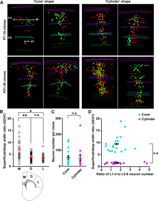 "Spatial Organization of Neocortical Excitatory Neuron Clones(A) 3D reconstruction images of representative clones that are ""cone"" shaped (left) and ""cylinder"" shaped (right) at P7–P10 (top) and P21–P30 (bottom) labeled at E10–E12.(B) Quantification of the ratio of the maximal lateral dispersion in the superficial layer 2/3 in all dimensions (d2) to that in the deep layer 6 (d1) (see A) for clones located in different regions of the neocortex (medial [M], n = 19; dorsal [D], n = 33; lateral [L], n = 16; see inset at the bottom). Individual circles represent a single clone. Mean and SEM are shown in red (∗p < 0.05 and ∗∗p < 0.01; n.s., not significant).(C and D) No correlation between the clone shape and the clone size (C) or the ratio of neuron number in the superficial (2–4) and deep (5–6) layers (D). Each dot indicates a clone and black lines indicate mean ± SEM.See also Movies S3 and S4."