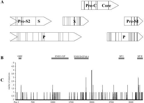 Mutations identified in the HBV genomes from mothers and infants are illustrated. (C)The horizontal line represents the HBV nucleotide sequence of the reference genome (11). (A) The four open reading frames (ORF) are depicted in open bars. Lines within these bars represent mutations resulting in amino acid changes in the infant with fulminant disease. (B) Black bars in the middle indicate enhancer and promotor regions (GRE: Glucocorticoid response element, ENH I-XP: enhancer I and X promotor, ENH II-CP: enhancer II and core promotor, ε: pregenome RNA encapsidation signal epsilon, SP I: surface promotor I, SP II: surface promotor II).