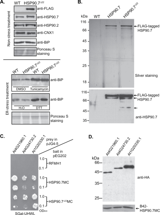 Immunoblotting of representative ER-localized chaperones and FLAG-tagged HSP90.7 complexes. (A) Top panel: total cell lysate of 2-week-old transgenic seedlings expressing HSP90.7Δ22 was immunoblotted with anti-FLAG, anti-HSP90.7, anti-HSP90.2, anti-calnexin, and anti-BiP antibodies. Bottom panel: 8-d-old seedlings grown on ½ strength MS agar plates were treated with 5 μM tunicamycin or 2mM DTT in liquid ½ strength MS salt for 8h, and the total proteins were then immunoblotted with anti-BiP antibody. Treatments with DMSO or H2O only were used as negative controls. (B) FLAG-tagged HSP90.7 or HSP90.7Δ22 complexes were purified using anti-FLAG antibody resin and resolved by 12% SDS-PAGE followed by silver staining (top). The bottom panel shows immunoblotting of the same samples with anti-HSP90.7 antibody. The arrows indicate the FLAG-tagged HSP90.7 or degradation intermediates. (C) Yeast EGY48 cells carrying prey and bait plasmids, which were originally diluted to an OD600 of 1.0 and 0.1 and applied to synthetic medium supplemented with galactose but without uracil, histidine, tryptophan, and leucine (SGal–UHWL), were grown for 7 d at 30 °C. pEG202-RFMH1 acted as a negative control. (D) Immunoblotting analysis of prey protein expression in yeast EGY48 cells carrying bait plasmid pEG202-HSP90.7MC and prey plasmids for At4G21960.1, At4G24730.2, and At1G20330.1, as indicated. Anti-HA antibody for prey protein and anti-HSP90.7 antibody for bait protein were used.
