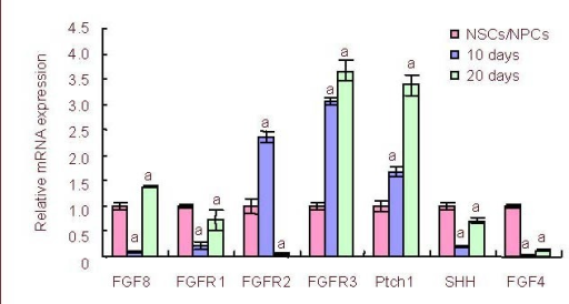Dynamic expression of FGF8, FGFRs and Sonic Hedgehog signaling pathway molecule mRNA during neural stem/progenitor cells differentiation in vitro was measured on day, 10 and 20 by reverse transcription-PCR.aP < 0.05, vs. expression of the previous differentiation stage. The results were expressed as absorbance ratio of mRNA expression on day 10 or 20 to that of the neural stem/progenitor cell stage, which was assigned a value of 1 (mean ± SD, n = 4).FGF: Fibroblast growth factor; FGFR: fibroblast growth factor receptor; NSCs/NPCs: neural stem/progenitor cells.