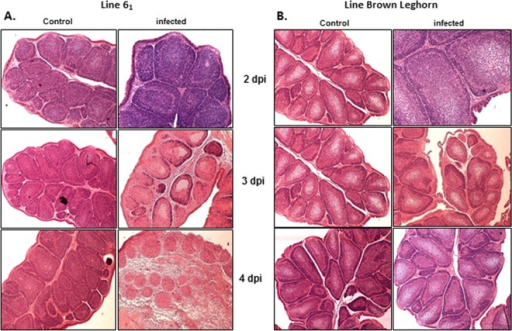 (A and B) Histology staining with hematoxylin and eosin of the bursal damage seen at 2, 3, and 4 dpi in control and infected birds of line 61 (A) and Brown Leghorn (B).