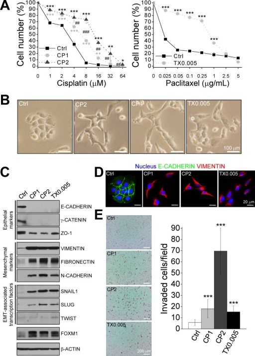 Chemoresistant IGROV1 sublines exhibit characteristics of the epithelial-mesenchymal transition (EMT)IGROV1 cells resistant to 1 μM cisplatin (CP1), 2 μM cisplatin (CP2), and 0.005 μg/mL paclitaxel (TX0.005) were isolated. (A) The IC50 values of the parental (Ctrl) and resistant cell lines were determined using MTT assays. (B) Phase contrast images of parental and chemoresistant cells. Scale bars, 100 μm. (C) Amounts of the indicated proteins were determined via western blotting. (D) Immunofluorescence staining of nuclei, E-CADHERIN, and VIMENTIN. Images were taken using a confocal microscope under excitation at 405 nm, 488 nm, or 543 nm. Scale bars, 20 μm. (E) In vitro transwell invasion assay. Left panel, representative photomicrographs of cells that penetrated a Matrigel-coated filter. Scale bars: 200 μm. Right panel, invasive cells were counted in 15 random fields on the lower surface of the filters and are expressed as invaded cells per field. Each bar represents mean ± standard error of the mean from two independent experiments. *: significant difference between chemoresistant and parental cells (A, E); #: significant difference between CP1 and CP2 cells (A). *: P < 0.05; **, ##: P < 0.01; ***, ###: P < 0.001 (A, E).