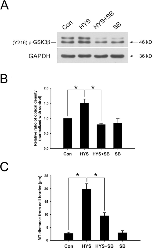 GSK3β inhibitor SB415286 inhibits the HYS-32-induced phosphorylation of GSK3β-pY216 and attenuates the HYS-32-induced microtubule catastrophes.(A) Control astrocytes (Con) or astrocytes treated for 24 h with 5 μM HYS-32 (HYS), co-treated for 24 h with 5μM HYS-32and 20μM SB415286 (HYS+SB), or treated with 20 μM SB415286 (SB) were subjected to 10% SDS-PAGE, and analyzed by immunoblotting with antibodies against GSK3β-pTyr216 or GAPDH. (B) Densitometric analyses of GSK3β-pTyr216 expressed as the density of the bands in the treated groups relative to the control. (C) Astrocytes treated as in (A) were fixed in cold acetone and triple-stained for β-tubulin, N-cadherin, and F-actin. Quantitative analysis of the straight distance between microtubule tips and cell border were performed as described in Materials and Methods. The results were collected from three independent experiments. *p<0.01 compared to HYS using one-way ANOVA with Dunnett's post-hoc test.