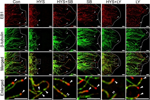 SB415286 and LY294002 partially restore EB1 distribution on microtubule plus ends.Control astrocytes (Con) or astrocytes treated for 24 h with 5 μM HYS-32 (HYS), co-treated for 24 h with 5 μM HYS-32 and 20μM SB415286 (HYS+SB) or LY294002 (HYS+LY), or treated with 20 μM SB415286 (SB)or LY294002 (LY) were fixed in cold acetone and double-stained for β-tubulin (green) and EB1 (red) and subjected to confocal microscopy. Images were merged to show co-localization (Merged). Square areas were enlarged to show EB1 distribution (Enlarged). Arrowheads indicate microtubule tips. Double-arrowheads indicate microtubule tips without EB1 signals. Arrows indicate distribution of EB1 along the microtubules. Dashed lines mark the cell border (bars = 5μm).