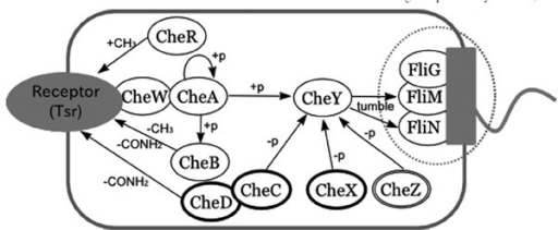 A pathway diagram of bacterial chemotaxis proteins in open i a pathway diagram of bacterial chemotaxis proteins in this map are taken from three species ccuart Images