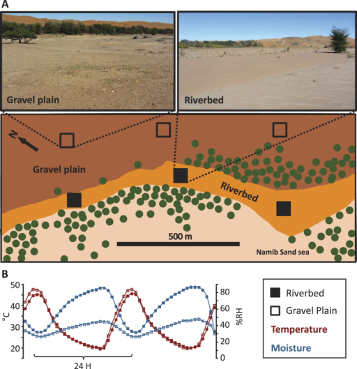 (A) Pictures and scheme representing the replicated sampling sites in the riverbed (n = 3, filled squares) and in the gravel plain (n = 3, empty squares). Green circles represent vegetation. (B) Averaged temperature and humidity variation of the riverbed and gravel plain soils over a 48h period (n = 3 for each soil origins). Photographs: Aline Frossard.