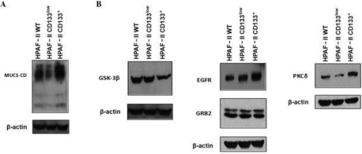 Expression of MUC1 and signaling partners. (A) Expression of MUC1 in HPAF-II wt, HPAF-II CD133low and HPAF-II CD133+ cells was evaluated by western blotting. β-actin was used as a loading control. (B) Expression of MUC1 signaling partners (epidermal growth factor receptor, growth factor receptor-bound protein 2, protein kinase C delta and glycogen synthase kinase 3 beta) in HPAF-II wt, HPAF-II CD133low and HPAF-II CD133+ cells was evaluated by western blotting. β-actin was used as a loading control. MUC1, mucin 1; MUC1-CD, mucin 1 cytoplasmic domain; EGFR, epidermal growth factor receptor; PKCδ, protein kinase C delta; GSK3β, glycogen synthase kinase 3 beta; GRB2, growth factor receptor-bound protein 2; CD, cluster of differentiation; wt, wild-type.