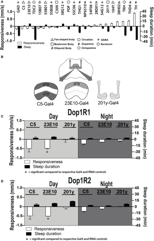Manipulating sleep-promoting neurons impairs behavioral responsiveness. (A) 22 Gal4 circuits were activated with UAS-NachBac and resulting adult progeny were behaviorally characterized. Average nighttime responsiveness (white bars, mm/s ± SEM) or sleep duration (black bars, min ± SEM) for each strain is shown relative to the Gal4 genetic control. Different neuronal categories are indicated with symbols. N = 51 for all genotypes, including each respective Gal4 genetic control. (B) Schema of central brain regions associated with C5-Gal4, 23E10-Gal4, and 201y-Gal4 expression. dFB, dorsal fan-shaped body; vFB, ventral fan-shaped body. (C) Average daytime and nighttime responsiveness and sleep duration (±SEM) of treated C5-Gal4/UAS-Dop1R1; tubulin (tub)-Gal80TS animals, 23E10-Gal4/UAS-Dop1R1; tub-Gal80TS animals, and 201y-Gal4/UAS-Dop1R1; tub-Gal80TS animals (N = 56, 81, and 56, respectively), normalized to their corresponding Gal4 control (C5-Gal4/+; N = 108, 23E10-Gal4/+; N = 159, 201y-Gal4/+; N = 41), and compared to both Gal4 and RNAi (UAS-Dop1R1; tub-Gal80TS/+, N = 81, not shown) genetic controls. (D) Average daytime and nighttime responsiveness and sleep duration (±SEM) of treated C5-Gal4/UAS-Dop1R2; tub-Gal80TS animals, 23E10-Gal4/UAS-Dop1R2; tub-Gal80TS animals and 201y-Gal4/UAS-Dop1R2; tub-Gal80TS animals (N = 34, 66, and 30, respectively), normalized to their corresponding Gal4 control (C5-Gal4/+; N = 108, 23E10-Gal4/+; N = 159, 201y-Gal4/+; N = 41) and compared to both Gal4 and RNAi (UAS-Dop1R2; tub-Gal80TS/+, N = 32, not shown) genetic controls. *P < 0.05, by one-way ANOVA, adjusted for multiple comparisons by a Post Hoc Tukey's test.