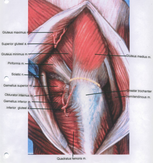 gluteus maximus muscle; superior gluteal artery; gluteus minimus muscle; piriformis muscle; sciatic nerve; gemellus superior muscle; obturator internus muscle; gemellus inferior muscle; inferior gluteal artery; quadratus femoris muscle; gluteus medius muscle; greater trochanter; semitendinous muscle