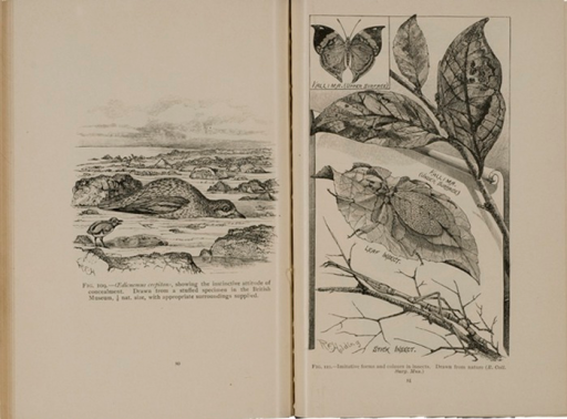 <p>Image of facing pages (p. 80-81) from Darwinism illustrated : wood-engravings explanatory of the theory of evolution / selected and drawn under the direction of Prof. George J. Romanes. Chicago : Open Court Pub. Co., 1892. P. 80 shows illustration of birds instinctive behavior of concealment. P. 81 shows illustrations of how insects are camouflaged against leaves and branches.</p>
