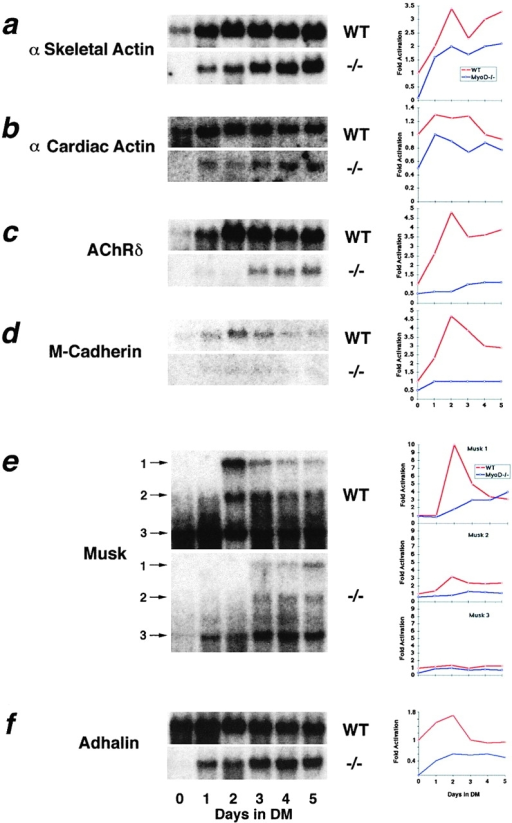 Reduced expression of differentiation-specific markers  in MyoD−/− myogenic cells. Northern analysis of α-skeletal (a)  and α-cardiac actin (b) mRNA levels revealed reduced and delayed kinetics of induction upon differentiation of MyoD−/−  cultures. Similarly, acetylcholine receptor δ subunit (AchR δ) (c)  and M-cadherin mRNA levels were found to be reduced (d). A  marked reduction in the expression of Musk (e) and adhalin (f)  mRNAs was also observed. The numbered arrows for Musk correspond to the specific isoforms quantitated on the associated  graphs. The fold activation in arbitrary units for each mRNA species is shown graphically beside each Northern blot. Fold activation was measured by densitometry and was normalized to 18S  rRNA.