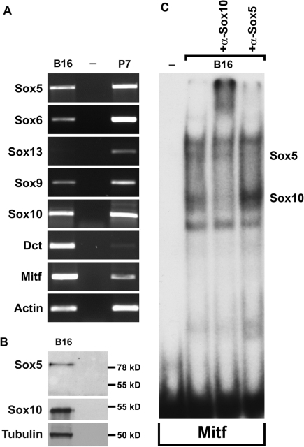 Sox5 is coexpressed with other Sox genes in B16 melanoma cells. (A) PCR experiments were performed on DNaseI-treated, reverse transcribed RNAs from B16 melanoma cells (B16) and spinal cords of 7-day old mice (P7), the latter serving as a positive control as most Sox genes are known to be expressed in this tissue. Transcripts were detected with mouse-specific primers for Sox5, Sox6, Sox13, Sox9, Sox10, Dct, Mitf and β-actin. Template-free control reactions were performed in parallel (−). (B) Equal amounts of extracts from B16 melanoma cells were subjected to SDS–PAGE and western blotting using antibodies directed against Sox5, Sox10 and acetylated α-tubulin. On the right side, the size of coelectrophoresed molecular weight markers are given. (C) EMSA was performed with the binding site from the Mitf promoter as probe and extracts from B16 melanoma cells. Addition of antibodies directed against Sox10 (α-Sox10) or Sox5 (α-Sox5) to the reactions during the incubation period was used to identify the Sox5- and Sox10-containing complexes, respectively. The '−' depicts no extract added.