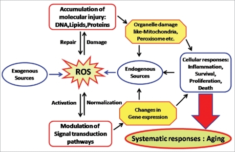 Reactive Oxygen Species Ros Generated By Endogenous A