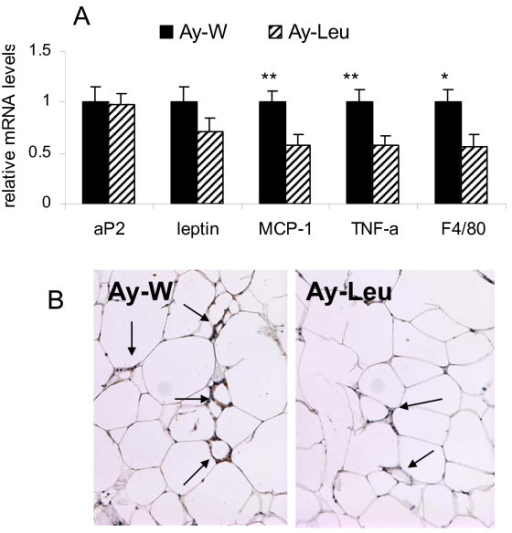 Leucine supplementation decreases adipose tissue inflammation in Ay mice. A: messenger RNA levels of aP2, leptin, monocyte chemoattractant protein-1 (MCP-1), tumor necrosis factor alpha (TNF-alpha), and F4/80, a macrophage-specific marker, in the epididymal adipose tissue of leucine-treated and control young Ay mice at the end of 4 month study period. The expression levels in leucine-treated mice are expressed relatively to the levels of the control mice. * and ** indicate p < 0.05 and 0.01, respectively, control vs. leucine-treated, n = 8. B. Immunohistochemical staining of F4/80 of epididymal adipose tissue of leucine-treated and control young Ay mice. The arrows indicate the nuclei positive for F4/80 staining.