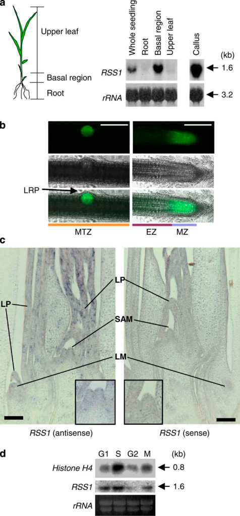 RSS1 is expressed preferentially in dividing cells.(a) The expression of RSS1 in seedlings and calli. Two-week-old seedlings of rice were dissected into the three parts as in the left panel and used for northern blot analysis with an RSS1-specific probe (right). The basal region of the shoot contains the shoot apical meristem (SAM) and leaf primordia (LP). rRNA, loading control. (b) GFP signals detected in the root of transgenic rice carrying GFP driven by the RSS1 promoter. Dark-field GFP images (top) and bright-field images (middle) are merged in the panels on the bottom. (left panels) The MTZ of the root with an emerging lateral root primordium (LRP). (right panels) The apex of an adventitious root. Bars, 200 μm. (c) In situ localization of RSS1 mRNA in the shoot. Longitudinal sections were hybridized with anti-sense and sense DIG-labelled RNA probes specific for RSS1, respectively. LM, lateral meristem. Insets Increased magnification of the SAM region. Bars, 100 μm. (d) Expression of RSS1 during the cell cycle. The synchronized rice Oc cells were harvested at the indicated cell cycle phases and analysed by northern blotting using histone H4- or RSS1-specific probes. rRNA, loading control.