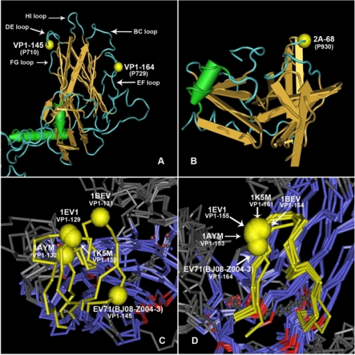 The predicted three dimensional structures of VP1 protein and protease 2A of EV71.A: predicted three dimensional structure of VP1 protein. The left yellow ball represents the 145th amino acid residue (P710) at VP1, and the right one represents the 164th residue (P729) at VP1. B: predicted three dimensional structure of Protease 2A protein. The yellow ball represents the 68th residue (P930) at 2A protein. C: the comparison of DE loop between predicted VP1 structure of EV71 (BJ08-Z004-3) and the real structure of 4 other picornaviruses. The yellow tubes represent the DE loop, and the yellow balls represent the corresponding residue on each strain to the residue on VP1-145 of EV71. D: the comparison of EF loop between predicted VP1 structure of EV71 and the real structure of 4 other picornaviruses. The yellow tubes represent the EF loop, and the yellow balls represent the corresponding residue on each strain to the residue on VP1-164 of EV71.