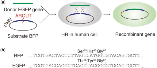 (a) HR in human cells to convert the chromophore of BFP to the chromophore of EGFP. (b) The sequences of BFP and EGFP near the chromophore-coding regions.