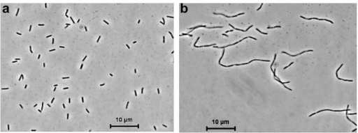 Phase contrast micrographs of the cell morphology of Thioalkalivibrio sp. K90mix grown at pH 10 and 4 M Na+(a), or 3.6 M K+/0.4 M Na+(b).