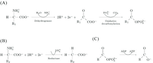 The Stickland reaction. In the genus Clostridium, amino acid fermentation requires two steps. (A) Oxidative deamination of the amino acid with the higher oxidation state yields an α-keto acid, ammonium, and two protons. For example, if R1 is a methyl group (-CH3), then the donor amino acid is an alanine, and the product of the oxidative deamination would be pyruvate, a central compounds of the intermediary metabolism. (B) Inorganic phosphate attaches at the carboxyl terminus. The second proton takes the place of the amino radical. The product of this reaction is an acyl-phosphate. For example when R2 is a hydrogen (thus the acceptor amino acid is a glycine) this product corresponds to acetyl-phosphate. The two phosphate compounds from A and B are substrates for the synthesis of ATP from ADP. Naturally, in Clostridium spp. all these reactions occur with the aid of hydrogenases (for the electron donors) and reductases (for the electron acceptors). ATP synthesis is catalysed by kinases. However, in chemo-autotrophic systems, the acetyl-phosphate is readily the energy carrier (see text).