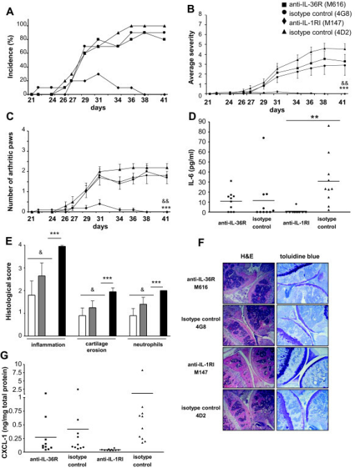 Treatment with a monoclonal anti-IL-36 receptor (R) antibody does not modify the course of collagen-induced arthritis (CIA). CII-immunized mice (n = 10/group) were treated with anti-IL36R (M616, squares, white columns), anti-IL-1RI (M147, triangles, dashed columns) or isotype-matched control antibodies (4G8 (circles, grey columns) for M616, 4D2 (triangles, black columns) for M147), as described in Materials and methods. Results show the incidence of arthritis (A), the clinical severity of articular inflammation (B) and the number of arthritic paws (C) on days 21 to 41. The systemic inflammatory response (D) was assessed by measuring circulating IL-6 levels on day 41 after the first immunization. Joint sections from all mice were evaluated on day 41 for histological scores (E) and histological features (F). All sections were scored for inflammation, cartilage erosion and neutrophil infiltration. Images are representative of H&E- or toluidine blue-stained sections of knee joints for each group (original magnification × 10). (G) Levels of CXCL-1 (ng/mL) were determined by ELISA in ankle extracts of each mouse on day 41 and normalized by the total protein concentration (mg/mL). (B, C, E) Values are the mean ± standard error of the mean. ***P < 0.001, anti-IL-1RI versus isotype control 4D2; &P < 0.05 and &&P < 0.01, anti-IL-1RI versus anti-IL-36R, as assessed by Kruskal-Wallis test (B and C) or by analysis of variance (ANOVA), followed by unpaired two-tailed Student's t-test (E). (D, G) Results are shown as individual values for each mouse (symbols) and mean values (lines) **P < 0.01, anti-IL-1RI versus isotype control 4D2, as assessed by ANOVA, followed by unpaired two-tailed Student's t-test.