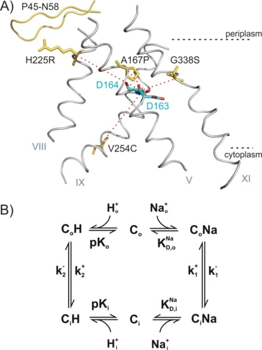 "A, helices V, VIII, IX. and XI in the structure of NhaA with the modified amino acid residues indicated in yellow. The two aspartates of the putative cation-binding site (Asp-163 and Asp-164) are shown in blue and red. The β-sheet P45-N58 is drawn in yellow. The red dotted lines indicate the trajectories from the mutated residues to the cation-binding site. B, kinetic model for Na+/H+ antiport. In the ""forward mode,"" the outside directed transporter Co binds H+ (this could be one or two H+ ions, and for simplicity only one is considered in the model) from the periplasm (Ho), performs a conformational transition to the inward directed form Ci, and releases H+ to the cytoplasm. Subsequently, Na+ is bound from the cytoplasm (Nai) and released to the periplasm."