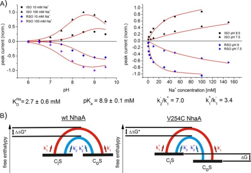 A, fit of the sodium jump-induced peak currents of V254C NhaA to the asymmetric kinetic model. Simultaneous fit of the pH dependences was at indicated sodium concentrations, and the sodium dependences was at indicated pH values of V254C NhaA in both transport directions. The solid line is a fit to the asymmetric kinetic model described in the text. The kinetic parameters obtained by the fit are as follows: KDNa = 2.7 ± 0.6 mm, pKa = 8.9 ± 0.1 mm, k2−/k1+ = 7.0, and k1+/k1− = 3.4. Data and conditions as in Fig. 2 and Table 1. B, energy diagram of WT NhaA and V254C NhaA in a simplified representation. CS is the transporter in the substrate-bound form, S = Na+ (red) or S = H+ (blue). The subscript i (inside) marks the state of the transporter opened to the cytoplasm, and the subscript o (outside) marks the state of the transporter opened to the periplasm. The half-cycles are graphical representations of the energy barriers between the inside opened and the outside opened conformation of the transporter in the sodium-bound form (red) or in the proton-bound form (blue). ΔΔG* is the difference of the activation enthalpies of the transitions states. ΔG is the free enthalpy difference of the inside opened and the outside opened conformation.