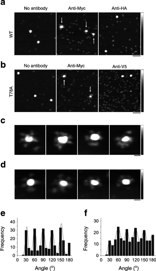 Both wild-type human seipin and T78A mutant seipin form dodecamers. (a) AFM images of wild-type seipin either alone or after incubation with anti-Myc or anti-HA antibodies. (b) AFM images of T78A mutant seipin either alone or after incubation with either anti-Myc or anti-V5 antibodies. Arrows indicate multiply decorated seipin complexes. Scale bar, 100 nm; shade-height scale, 0–5 nm. (c, d) Gallery of zoomed images showing multiply decorated wild-type (c) or T78A mutant seipin (d). Scale bar, 20 nm; shade-height scale, 0–5 nm. (e, f) Frequency distributions of angles between pairs of antibodies bound to either wild-type (e) or T78A mutant seipin (f). The curves indicate the fitted Gaussian functions