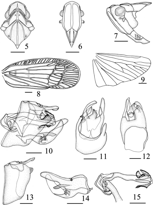 Varma falcata Chang & Chen, sp. n. 5 Head and thorax, dorsal view 6 Head, ventral view 7 Head and thorax, lateral view 8 Forewing 9 Hind wing 10 Male genitalia, lateral view 11 Pygofer and gonostyli, ventral view 12 Male genitalia, dorsal view 13 Pygofer and anal segment, left side 14 Gonostyli, right side 15 Aedeagus, left side. Scale bars = 1.0 mm (5–9), 0.5 mm (10–15).