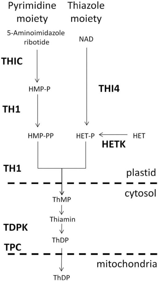 Thiamin biosynthesis pathway in plants. Abbreviations (bold) used for enzyme and transport functions assigned to genes of Arabidopsis and maize (Table 1): THIC, hydroxymethylpyrimidine phosphate synthase; THI4, thiazole biosynthetic protein; TH1, hydroxymethylpyrimidine phosphate kinase/hydroxymethylpyrimidine kinase/thiamin-phosphate pyrophosphorylase (dual function enzyme); HETK, hydroxyethylthiazole kinase; TDPK, thiamin diphosphokinase; TPC, mitochondrial thiamin diphosphate carrier. Pathway intermediates and products include HMP-P, hydroxymethylpyrimidine phosphate; HMP-PP, hydroxymethylpyrimidine diphosphate; thiamin; ThDP, thiamin diphosphate; HET, hydroxyethylthiazole; HET-P, hydroxyethylthiazole phosphate. Dashed horizontal lines separate plastidial, cytosolic and mitochondrial compartments of the cell.