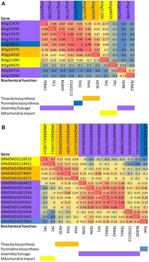 Correlated expression of thiazole, pyrimidine, transport, and salvage genes of the thiamin biosynthesis pathway in Arabidopsis and maize. (A)Arabidopsis. A profile for each gene was calculated based on Pearson rank-order correlations with other thiamin pathway genes in the AtGeneExpress development dataset (Schmid et al., 2005). Genes were then clustered based on the matrix of pairwise correlations (R2 values) among the gene profiles. (B) Maize. A profile for each gene was constructed by calculating Pearson rank-order correlations with other thiamin pathway genes in the QTELLER transcriptome dataset (see Methods). Genes were then clustered based on the matrix of pairwise correlations (R2 values) among the gene profiles. TPC, mitochondrial thiamin diphosphate transporter; THI4, thiazole biosynthesis protein; HETK, hydroxyethyl thiazole kinase;. TDPK, thiamin diphosphokinase paralogs; TH1, hydroxymethylpyrimidine phosphate kinase/hydroxymethylpyrimidine kinase/thiamin-phosphate pyrophosphorylase, dual function protein; COG0212, putative thiamin related 5-formyltetrahydrofolate cycloligase-like protein, function unknown; TENA1 and TENA2, thiaminase II paralogs; NUDIX, putative thiamin related NUDIX type hydrolase; THIC, hydroxymethylpyrimidine phosphate synthase.