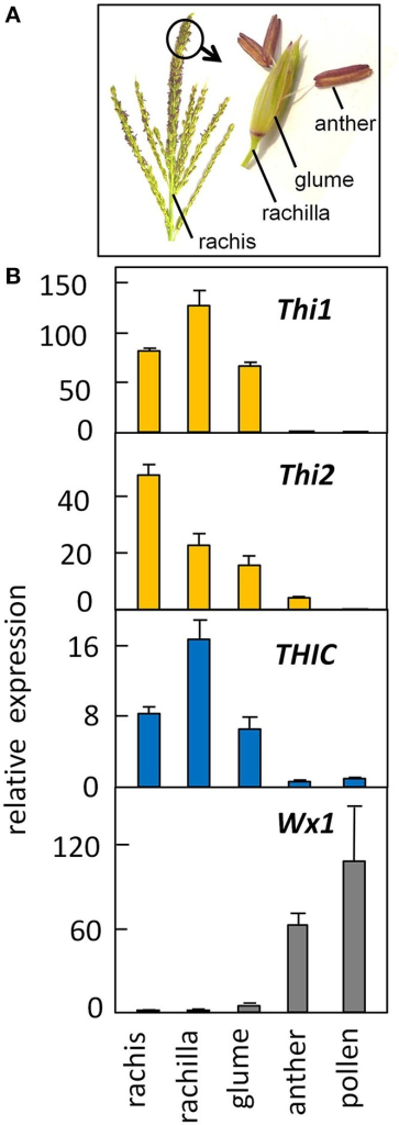 Low expression of the thiamine biosynthetic pathway in developing pollen contrasts with high expression in surrounding floral organs. (A) Structure of the male inflorescence of maize (image, J. Saunders; art, K. E. Koch). (B) Gene expression in floral organs and developing pollen. RNA was quantified by qRT-PCR (see Methods). Late-binucleate stage pollen was isolated from developmentally staged anthers as described by Wen and Chase (1999). The Wx1 starch synthase was measured as a positive control for pollen gene expression. Error bars are standard error of the mean, n = 3.
