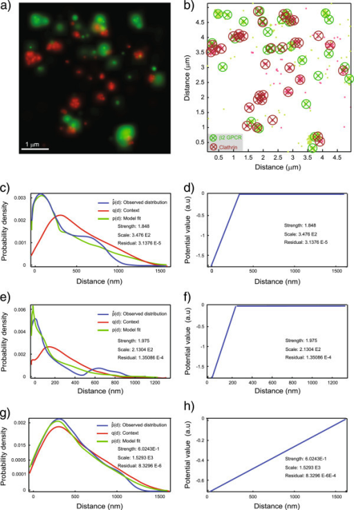Results of applying the plugin to clathrin–β2-AR data from single-molecule PALM. MosaicIA applied to PALM super-resolution imaging in fixed HeLa cells: The green channel (X) shows the GPCR protein β2-AR labelled with PSCFP2. The red channel (Y) shows Clathrin Light Chain-PAMCherry1. (a) Rendering of the PALM image as a probability map showing only molecules that localized into clusters of a given threshold size. (b) These molecules displayed as points without their corresponding localization uncertainty. Clusters of molecules are visualized by circles with × marking the cluster centers. (c,e,g) Distance distributions obtained after fitting the model with a linear L1 potential. (c,d) Fit and estimated interaction potential when using only cluster centers for the analysis. (e,f) Fit and estimated interaction potential when only using all individual molecules. (g,h) Randomization control using a randomly shuffled point pattern X with the same number of points as in c.