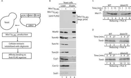 Mia40 and Tom40 copurify with Mix17FLAG in vivo. (A) Schematic representation of immunoaffinity purification of Mix17FLAG from yeast cells. (B) Immunoaffinity purification of Mix17FLAG upon disruption of yeast cells in the presence of digitonin. The samples were analyzed by reducing SDS–PAGE, followed by immunodecoration with specific antisera. Load, 2%; eluate, 100%. (C) Radiolabeled Mix17 was imported into mitochondria isolated from WT or Tom70-deleted cells. (D) Radiolabeled Tim9 was imported into mitochondria isolated from WT cells or cells that lacked Tom70 or Tom20 as indicated. (C, D) The samples were treated with proteinase K and analyzed by reducing SDS–PAGE. WT, wild type; IA, iodoacetamide.