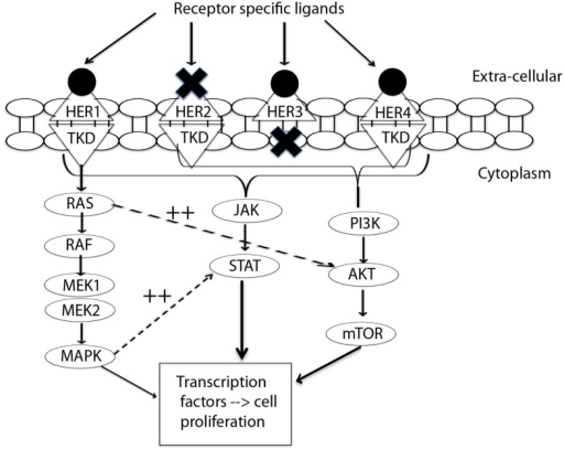 Signal transduction by HER-family. This figure summarizes the interplay between three pathways: MAPK, P13K/AKT, and JAK/STAT. MAPK dramatically enhances transcriptional activation by STAT (11). EGFR/HER1 cannot directly activate the P13K/AKT pathway (12), but it couples to the ras/MAPK pathway as well as to the ras/PI3K/AKT pathway (10). This interplay of pathways forms the source of by-pass resistance to EGFR TKIs. TKD, tyrosine kinase domain; MEK, mitogen activated protein kinase kinase; MAPK, mitogen activated protein kinase; PI3K, phosphoinositide 3-kinase; mTOR, mammalian target of rapamycin; JAK, janus kinase; STAT, signal transducer and activator of transcription.