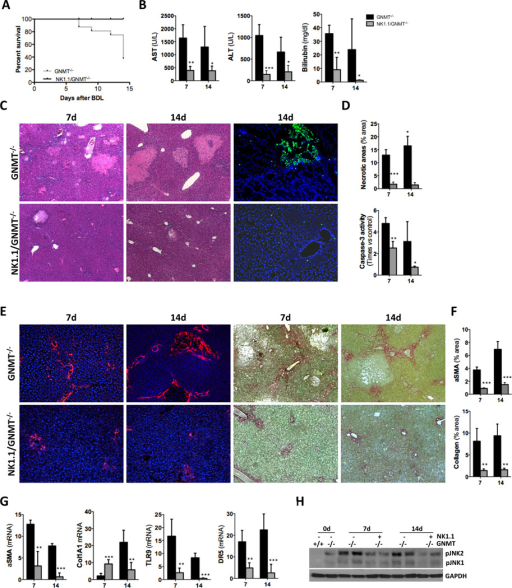 NK1.1+ cell depletion protects the liver of GNMT−/− mice against BDL-induced liver damage and fibrosis(A) Kaplan-Meier survival curve evidencing the beneficial impact of NK1.1+ cell depletion after BDL. (B) Serum transaminase and billirubin analysis, (C) H&E staining and TUNEL assay on liver sections showing lower liver injury after BDL in NK1.1/GNMT−/− mice. (D) Further quantification of necrotic areas on H&E sections and caspase-3 activity on whole liver extracts confirmed these data. (E) IHC using an αSMA Ab and Sirius Red staining and (F) further quantification evidenced reduced fibrosis in NK1.1/GNMT−/− mice. (G) qPCR analysis of αSMA, collagen1A1, TLR9 and DR5 expression. (H) WB analysis showing lower pJNK expression in NK1.1/GNMT−/− mice after BDL. n = 5–7. *p< 0.05; **p< 0.01; ***P < 0.001 (GNMT−/−vs NK1.1/GNMT−/−). Error bars represent SD.