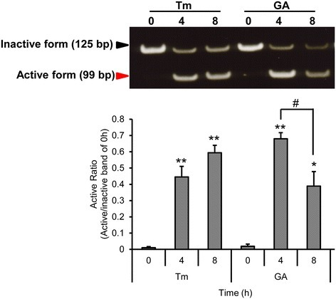 GA induces XBP1 mRNA splicing in HeLa cells. HeLa cells were treated with 10 μg/ml of tunicamycin (Tm) or 0.3 μg/ml of GA for 0, 4 and 8 h. mRNA was extracted and subjected to the RT-PCR. The active form was normalized to the inactive form at 0 h. Results are mean values ± SD of three independent experiments (n = 3). *p < 0.05; **p < 0.01 shows significant difference compared with 0 h; #p < 0.05, is significantly different as compared between 4 h and 8 h.