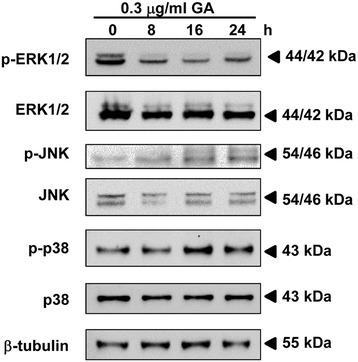 Effect of GA on MAPK pathway in HeLa cells. HeLa cells were treated with 0.3 μg/ml of GA for the indicated time points. The expression of phosphorylated and total ERK1/2, JNK and p38 were analyzed by Western blotting and were expressed relative to the protein level at 0 h after normalization to β-actin signals.