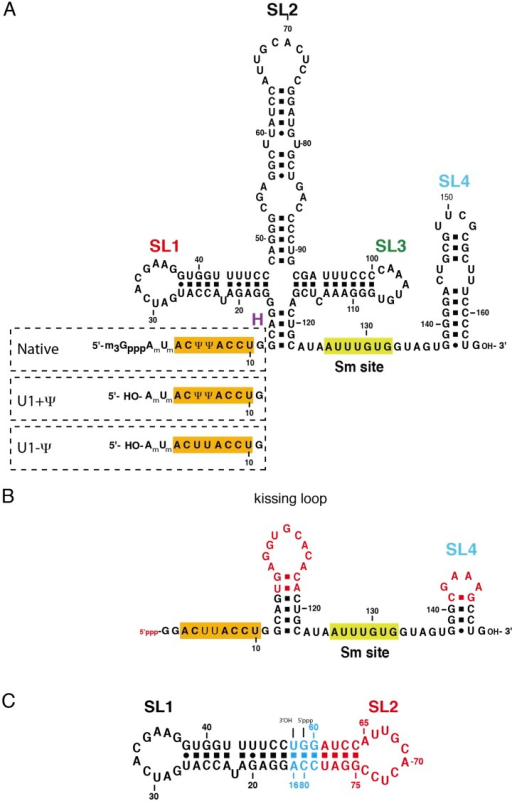 The U1 snRNA constructs used for this work.(A) Full-length U1 snRNA is used for in vitro reconstitutionand further biochemical experiments. Sequences within dashed rectanglesindicate the 5′-end variations of U1 snRNA used in biochemicalexperiments. U1 + Ψ construct contains both 2′-O-methylgroups on A1 and U2 as well as pseudo-uridines at position 5 and 6. U1− Ψ construct has 2′-O-methyl modifications, but hasnormal uridines instead of pseudo-uridines. (B) The minimal U1snRNA (SmKCm) construct replaces the 4-way junction with a kissing loop.(C) In SL1·SL2 RNA, the apical region of stem-loop 2(U1 snRNA nucleotides 61–78) is shown in red, stem-loop 1 (U1 snRNAnucleotides 17–47) in black and other nucleotides are shown in cyan.Bases in stem-loop 1 and 2 are numbered as in natural human U1 snRNA.DOI:http://dx.doi.org/10.7554/eLife.04986.005