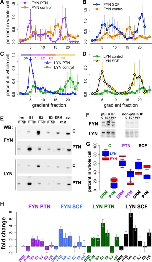 Intracellular localization of FYN and LYN changed in response to PTN and SCF.(A-D) Velocity gradient fractionation of intracellular organelles after serum starvation (control; squares) or 60 min stimulation of LAN-6 cells with PTN (A, C) or SCF (B, D). Data were quantified from western blots using antibodies against FYN (A, B) and LYN (C, D) and expressed as the percent of each protein in each gradient fraction after quantifying amounts in all other cell fractions (percent in whole cell). Shown are means from 2–4 experiments for each condition; error bars are SEM. (E) Organelle fractions, defined as pools of velocity gradient fractions lys, E1, E2, E3, and cyt as shown in (C), were subjected to flotation equilibrium centrifugation [32]. Western blots show these fractions and detergent-resistant (DRM) and-soluble (P1M) fractions (see S10 Fig) after no treatment (C = control) or treatment with PTN, probed with antibodies to FYN and LYN (indicated). Both floating (F) and non-floating (NF, defined as material in higher density fractions at the bottom of flotation equilibrium gradients) membranes were analyzed. That SFKs associated with floating (F) fractions indicates that they were robustly bound to membranes. (F) Phospho-SFK (left) and non-phospho-SFK antibodies (right) were used to immunoprecipitate proteins from endosome E1 fractions under unstimulated or stimulated conditions as in (A). Western blots were probed with FYN- and LYN-specific antibodies (indicated). (G) Box plot shows amounts of FYN (red) and LYN (blue) in detergent-resistant (DRM) and-soluble (P1M) fractions under control, ALK- or KIT-stimulated conditions as in A-D. (H) Bar plots show fold change (treatment/control if positive;-(treatment/control)-1 if negative) in all cell fractions under unstimulated or stimulated conditions as in A-D. (G, H) Amounts of FYN and LYN in all cell fractions were quantified from 3–7 experiments; boxes show quartiles and whiskers show ranges in G, error bars are SEM in H.