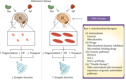 "Improving mitochondrial health in AD. In AD, the action of tau and Aβ generates impairment of the mitochondrial function causing fragmentation, depolarization, oxidative stress, and defects in axonal transport. Several strategies have been used to reduce mitochondrial failure in AD. These elements include antioxidants (systemic and mitochondria-targeted), inhibitors of mitochondrial dynamics, microtubules stabilizing drugs, and increase of mitochondrial biogenesis. Also, in this review, we propose the use of a ""double mitochondrial therapy,"" which means the combinatory use of mitotargeted antioxidants and activators of mitochondrial biogenesis. The use of these therapies can potentially reduce the mitochondrial fragmentation improving the mitochondrial network, restore the membrane potential (increasing ATP production and reducing ROS levels), and increase axonal transport. ΔΨ: mitochondrial membrane potential; VDAC1: voltage-dependent anion channel; HDAC6: histone deacetylase 6; Nrf2: nuclear factor erythroid 2-related factor 2; PGC1-α: peroxisome proliferator-activated receptor gamma-coactivator 1 alpha."