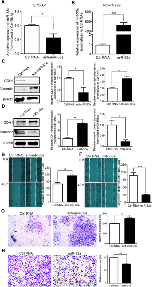 miR-33a knockdown induces EMT and metastasis and miR-33a overexpression blocks EMT and metastasis.(A) SPC-A-1 cells was transfected with miR-33a inhibitors (anti-miR-33a) or inhibitor NC (Ctrl RNA) and (B) NCI-H1299 cells was transfected with miR-33a mimics (miR-33a) or mimics NC (Ctrl RNA), the levels of mature miR-33a were confirmed by quantitative RT-PCR. Western Blotting was performed after the transfection of RNAs. The changes of epithelial cell biomarker E-cadherin and mesenchymal cell biomarker Vimentin were shown in SPC-A-1 (C) and NCI-H1299 (D) cells. The migration and invasion capability were respectively measured after the transfection of RNA oligos in SPC-A-1 (E,G) and NCI-H1299 (F,H) cells. *P < 0.05, **P < 0.01, ***P < 0.001.