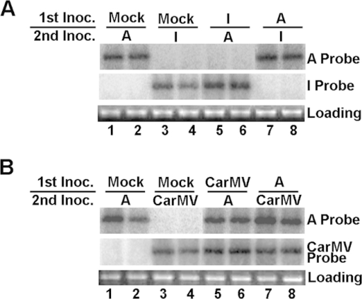 Exclusion of a TCV variant by its pre-inoculated relative is highly specific.(A) Mutual exclusion between sequentially inoculated variants A and I in N. benthamiana plants. (B) Lack of exclusion between TCV variant A and CarMV. Sequential inoculations were performed as described earlier, except here the N. benthamiana plants were used as hosts. Northern blot hybridizations were carried out to distinguish the various virus variants.