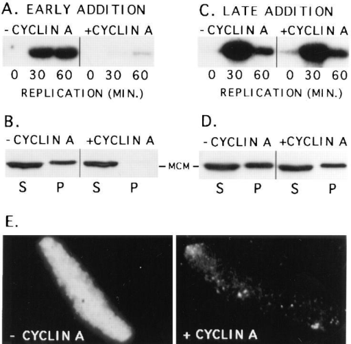 Cyclin A inhibits MCM3 binding to chromatin and  blocks DNA replication. (A) Interphase cytosol was preincubated  alone (− CYCLIN A) or with 66 nM of cyclin A–GST fusion protein for 30 min. After this preincubation, membrane and sperm  (1,000 sperm/μl) were added. Equal volumes of these extracts  were removed at the indicated times and labeled with [32P]dATP  for 15 min. In extracts lacking added cyclin A, replication occurred normally, while in the presence of cyclin A replication was  strongly inhibited. (B) Interphase cytosol was preincubated with  or without 66 nM of cyclin A-GST for 30 min. Sperm nuclei were  then added to 5,000 sperm/μl. After a further 30-min incubation,  the samples were diluted fivefold with ELB and the sperm chromatin separated from the cytosol by centrifugation through a sucrose cushion. The cytosol (S) and chromatin (P) fractions were  analyzed for MCM3 content by Western blotting with antiMCM3 antibody. Preincubation of cytosol with cyclin A strongly  inhibited the subsequent association of MCM3 with chromatin.  (C) Interphase cytosol was first incubated with 1,000 sperm/μl for  30 min. This reaction was then divided in half, and 66 nM cyclin  A was added to one aliquot (+ CYCLIN A). Membrane was then  added to both halves, and DNA replication was assayed as in (A).  Under these conditions cyclin A did not inhibit DNA replication.  (D) Interphase cytosol was incubated with 5,000 sperm/μl for  30 min. Either ELB buffer (− CYCLIN A) or 67 nM of cyclin  A-GST (+ CYCLIN A) was then added to the reactions. After a  further 30-min incubation, samples were collected and analyzed  as in B. Under these conditions late addition of cyclin A did not  prevent MCM3 from binding to sperm chromatin. (E) The samples  were treated as in B above, however, instead of pelleting the sperm  after incubation, the chromatin-bound MCM3 was visualized by  staining with anti-MCM3 antibody, followed by rhodamine-labeled  anti–rabbit IgG. Early addition of cyclin A (+ CYCLIN A)  blocked the association of MCM3 with chromatin when compared  to controls lacking cyclin A (− CYCLIN A).