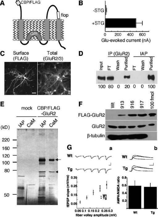 Functional expression of CBP/FLAG-GluR2 in heterologous cells and in transgenic mouse brain. (A) Schematic presentation of CBP/FLAG-GluR2. Calmodulin-binding peptide (CBP) and FLAG peptide sequences were inserted after the signal sequence of mouse GluR2 (flop form edited at position 586 (Q/R)). (B) In X. laevis oocytes expressing CBP/FLAG-GluR2, glutamate-evoked currents were vastly increased by coexpression of stargazin cRNA. (C) Surface receptors expressed in hippocampal neurons were live labeled with anti-FLAG M2 and total GluR2 was stained with anti-GluR2/3. Bar, 20 μm. (D) More efficient isolation of CBP/FLAG-GluR2 by immunoaffinity purification (IAP; anti-FLAG M2 agarose) than by conventional immunoprecipitation (anti-GluR2 antibody). Almost 100% of solubilized CBP/FLAG-GluR2 was isolated by IAP. FT, flow-through. (E) Two-step purification of CBP/FLAG-GluR2. The extracts of HEK cells transfected with mock vector or CBP/FLAG-GluR2 were subjected to sequential affinity chromatography: IAP and calmodulin-affinity chromatography (CaM). The arrow indicates the 110-kD protein (CBP/FLAG-GluR2). The arrowhead indicates the copurified 78-kD protein (identified as BiP/Grp78 by mass spectrometry). (F) Whole brain extracts (50 μg) from the indicated transgenic mouse lines and 100 fmol of CBP/FLAG-GluR2 purified from HEK cells were probed with the indicated antibodies. CBP/FLAG-GluR2 represents ∼50% of the endogenous protein in line 917. (G) Basal synaptic transmission is normal in transgenic GluR2 mice. (a) Input–output curve for basal synaptic transmission in hippocampal slices from wild type (Wt; n = 16) and transgenic (Tg; n = 18) mice. Each point represents the mean ± SEM for each bin. Sample fEPSPs at different stimulus intensities are shown on top. Bars: (y-axis) 0.5 mV; (x-axis) 20 ms. (b) AMPA/NMDA ratios were calculated by evoking dual-component EPSCs (Wt, n = 5; and Tg, n = 9). Histogram represents the AMPA/NMDA ratio mean ± SEM. Sample traces of the mixed and isolated AMPA- and NMDA-mediated EPSCs from wild-type and transgenic mice are shown on top. Bars: (y-axis) 100 pA; (x-axis) 20 ms.
